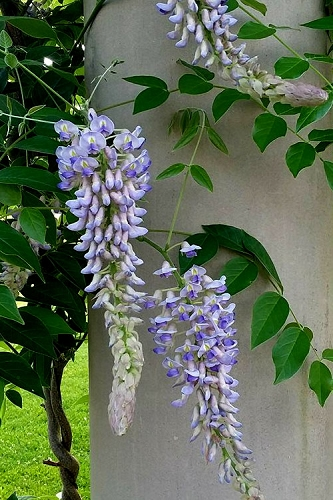 Blue Moon Wisteria Vine - 5 Gallon Pot