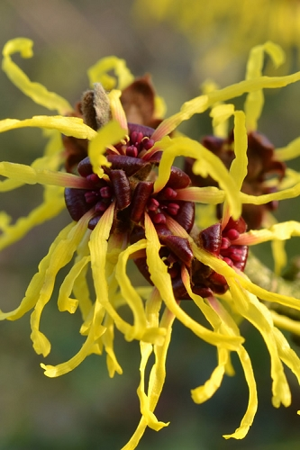 Yellow American Witch Hazel - Hamamelis virginiana - 3 Gallon Pot