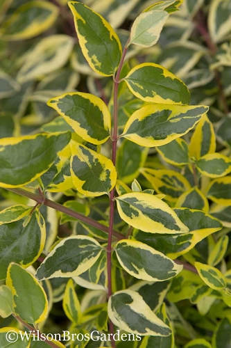 Lemon Lime Dwarf Abelia - 3 Gallon Pot
