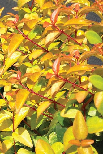Peach Perfection Abelia - 3 Gallon Pot