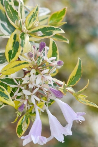 Radiance Dwarf Abelia - 1 Gallon Pot