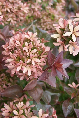 Rose Creek Dwarf Abelia - 1 Gallon Pot