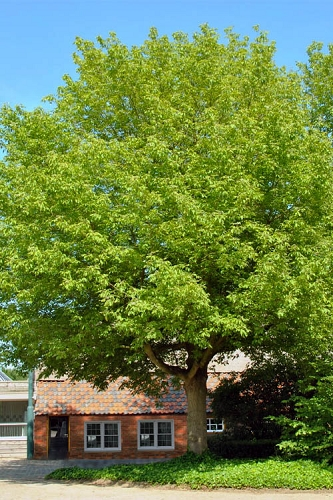 Box Elder Maple Tree (Acer negundo) - 1 Gallon Pot