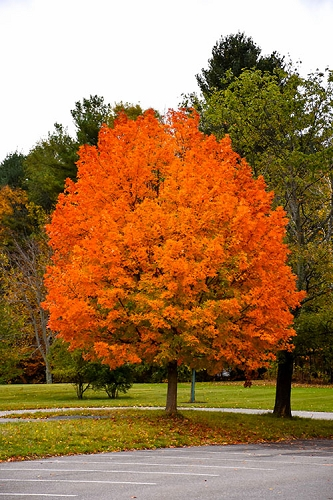 Sugar Maple Tree (Acer saccharum) - 3 Gallon Pot