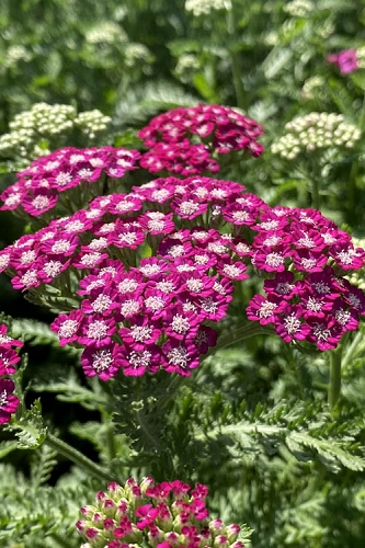 New Vintage Violet Yarrow (Achillea) - 1 Gallon Pot