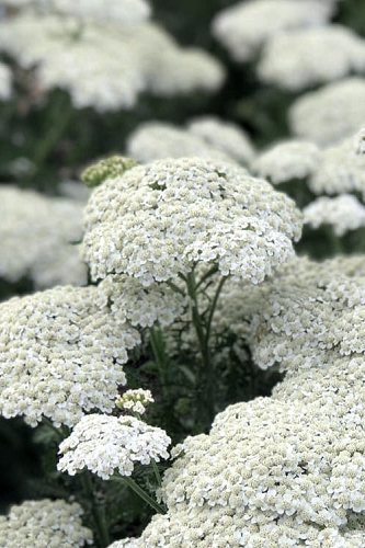 New Vintage White Yarrow (Achillea) - 1 Gallon Pot