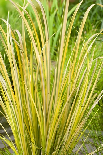 Golden Variegated Sweet Flag - Acorus gramineus 'Oborozuki' - 18 Count Flats of Pint Pots