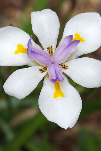 White African Iris - Fortnight Lily