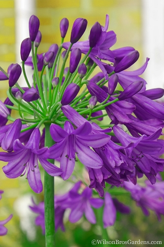 Ever Amethyst Agapanthus - Lily of the Nile - 2.5 Quart Pot