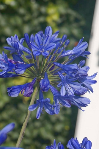 Little Blue Fountain Agapanthus - Lily of the Nile - 2.5 Quart Pot