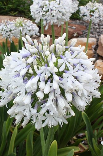 Queen Mum Agapanthus - 2 Gallon Pot