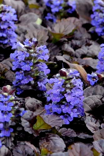 Black Scallop Ajuga - Bugleweed