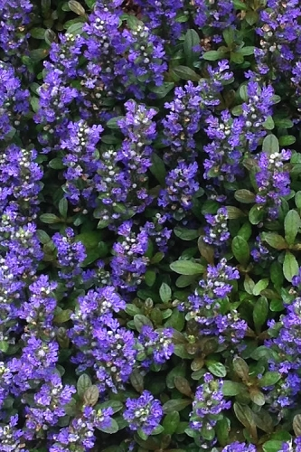 Blueberry Muffin Ajuga - Bugleweed