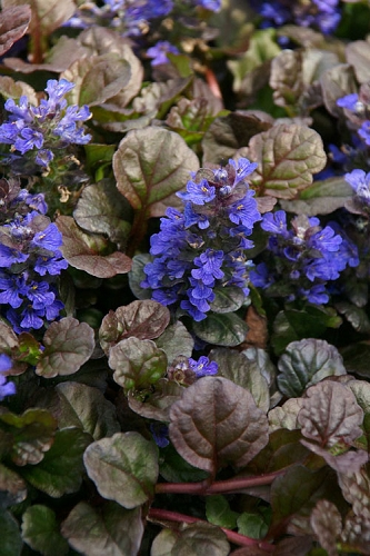 Bronze Beauty Ajuga - Bugleweed - 1 Gallon Pot