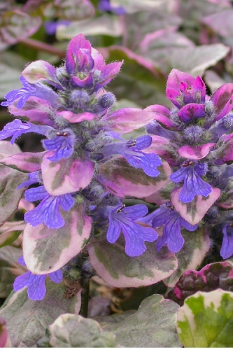 Burgundy Glow Ajuga - Bugleweed - 10 Count Flat of Pint Pots