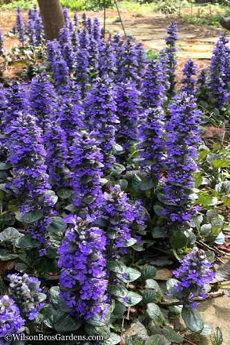Catlins Giant Ajuga - Bugleweed - 3 Pack of Quart Pots