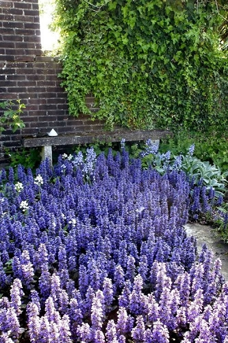 Catlins Giant Ajuga - Bugleweed