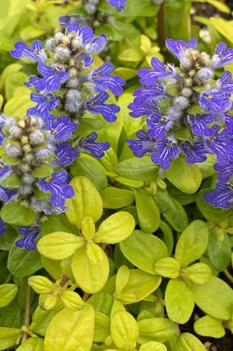 Cordial Canary Ajuga (Bugleweed) - 5 Pack of Quart Pots