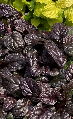 Fierce Falcon Ajuga (Bugleweed) - 5 Pack of Quart Pots