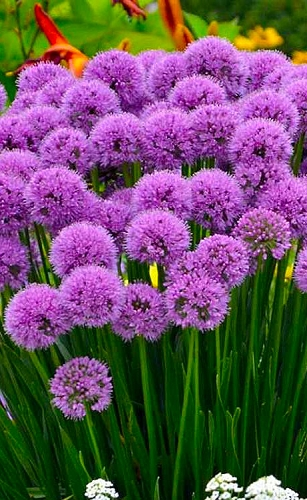 Millenium Allium (Ornamental Onion) - 1 Gallon Pot