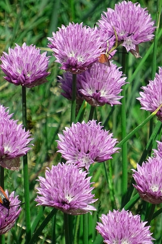 Chives Plant (Allium schoenoprasum) - 5 Pack of Quart Pots
