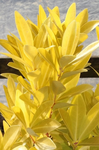 Florida Sunshine Anise - 3 Gallon Pot