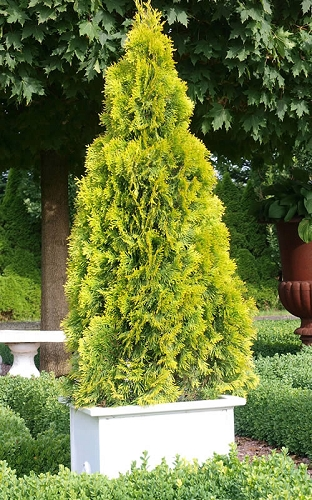 Highlights Arborvitae Thuja Janed Gold - 1 Gallon Pot