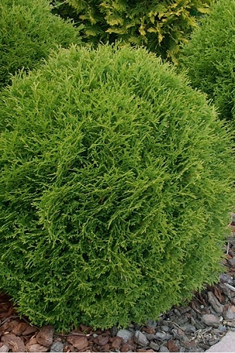 Little Giant Dwarf Global Arborvitae