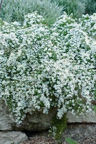 Snow Flurry Heath Aster - 1 Gallon Pot