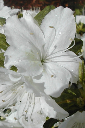 Delaware Valley White Azalea - 1 Gallon Pot
