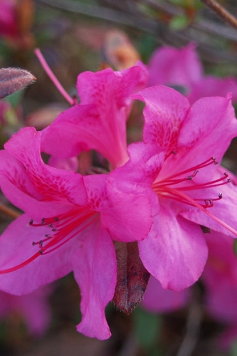 Autumn Amethyst Encore Azalea - 1 Gallon Pot
