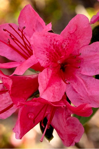 Autumn Cheer Encore Azalea - 1 Gallon Pot