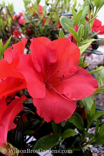Fireside Red Bloom 'N Again Azalea