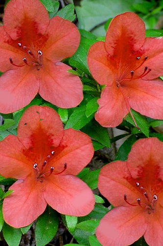 Flame Creeper Dwarf Spreading Azalea