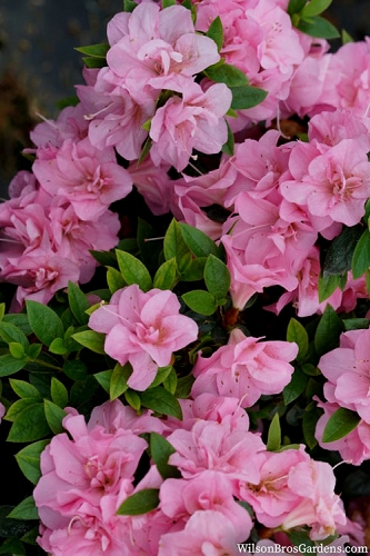 Perfecto Mundo Double Pink Reblooming Azalea - 3 Gallon Pot