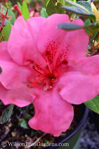 Pink Explosion Bloom 'N Again Azalea