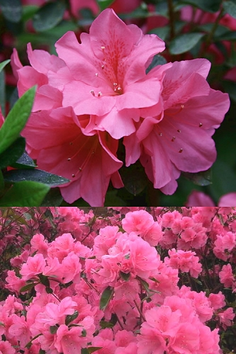 Pink Ruffle Azalea - 1 Gallon Pot