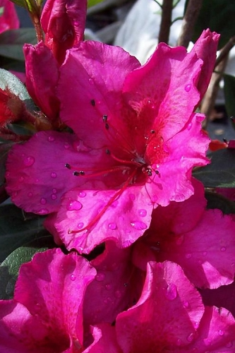 Red Formosa Azalea - 1 Gallon Pot