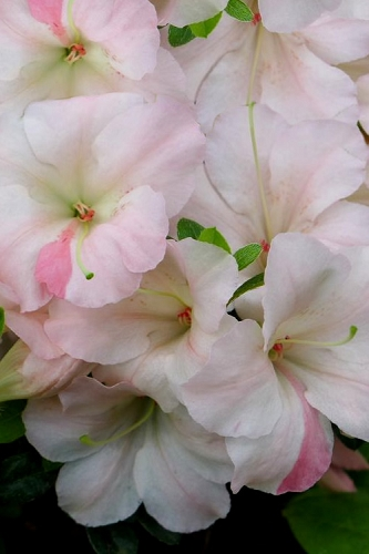 Sir Robert Dwarf Azalea - 1 Gallon Pot