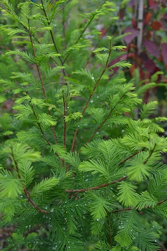 Bald Cypress - Taxodium distichum - 1 Gallon Pot