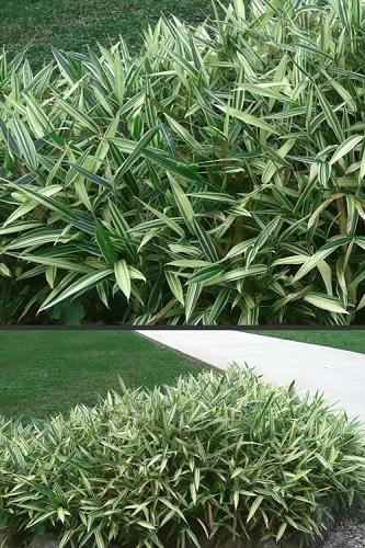 buy indoor bamboo plants online from wilson bros gardens. Black Bedroom Furniture Sets. Home Design Ideas