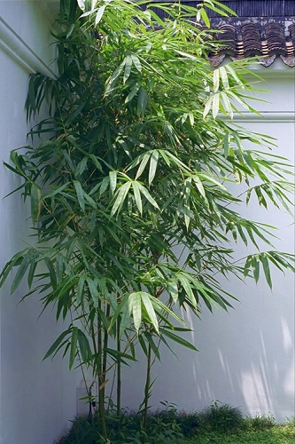 Arrow Bamboo - Pseudosasa japonica - 3 Gallon Pot