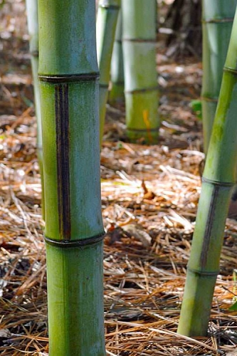 Buy Bamboo Plants Online from Wilson Bros Gardens