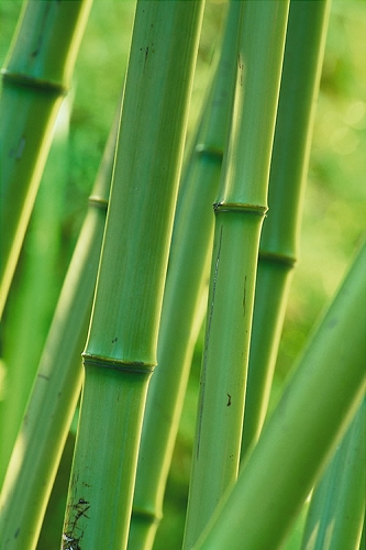 Madake Giant Japanese Timber Bamboo (Phyllostachys bambusoides) - 3 Gallon Pot