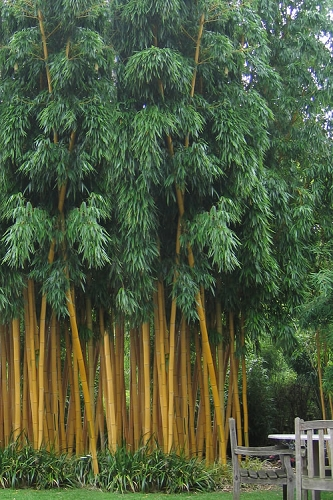 Gold Vivax Giant Timber Bamboo (Green Stripe Bamboo) - Phyllostachys vivax 'Aureocaulis' - 3 Gallon Pot