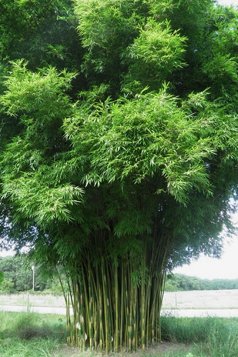 Graceful Bamboo (Slender Weavers) - Bambusa textilis 'Gracilis' - 2 Gallon Pot