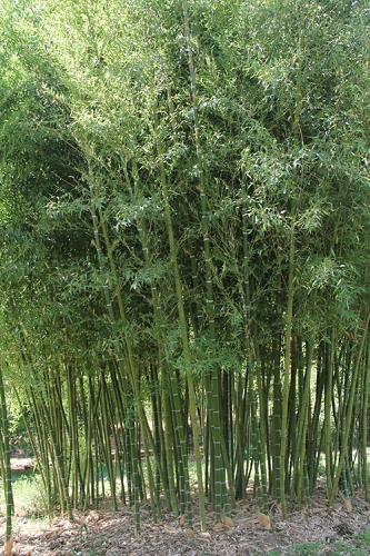 Incense Bamboo - Phyllostachys atrovaginata - 3 Gallon Pot