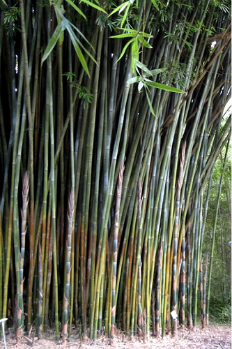Giant Weavers Royal Bamboo (Wong Chuk) - Bambusa textilis 'Kanapaha' - 3 Gallon Pot