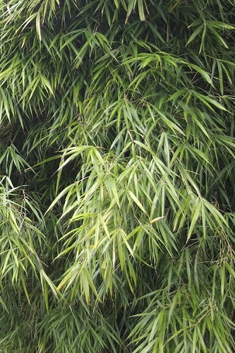 Narrow Leaf Bamboo - Pleioblastus linearis - 2 Gallon Pot