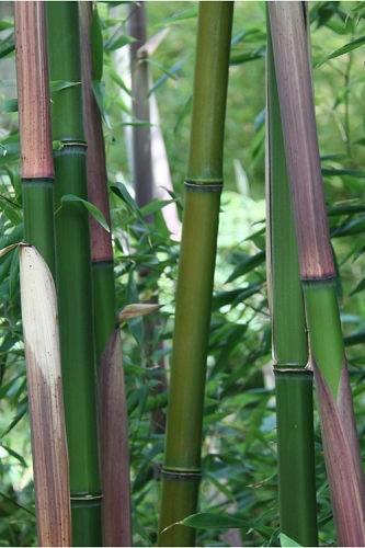 Red Margin Bamboo - Phyllostachys rubromarginata - 3 Gallon Pot